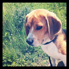 My sweet little Nicky Beagle :)