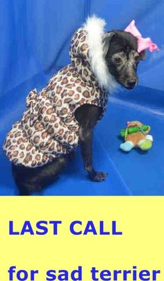 SAFE --- BABY (A1674955) I am a spayed female black and white Terrier mix.  The shelter staff think I am about 3 years old and I weigh 13 pounds.  I was found as a stray and I am available for adoption. — hier: Miami Dade County Animal Services. https://www.facebook.com/urgentdogsofmiami/photos/pb.191859757515102.-2207520000.1424291282./930419373659133/?type=3&theater
