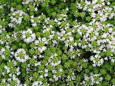 White Creeping Thyme Plant - Lightly Scented - Pot Image 2 of 2 Garden Spaces, Garden Beds, Hello Hello Plants, Thyme Plant, Creeping Thyme, Pot Image, Cheap Plants, Border Plants, Ground Cover Plants