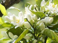Fleur d'Oranger, my fav scent!