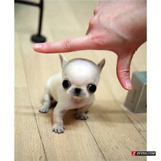 Micro Teacup size Chihuahua Extreme Faces! Luxury! - Madison - Animals