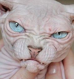 Someone from Alberta is cheating cat lovers by selling them shaved kittens. These shaved kittens were sold in the market as the hairless Sphynx cats. Funny Cats, Funny Animals, Cute Animals, Baby Animals, Sphynx Gato, Hairless Cats, Cat Ideas, Ugly Cat, American Bobtail