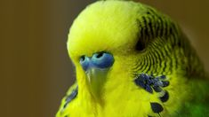 Disco the Parakeet, a very vocal budgerigar (aka budgie) with an amazing ability for mimicry, will be making his world debut on the premiere episode of the BBC One series Pets - Wild at Heart, whic...