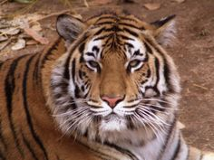 tigers | ... the life of our tigers please say loudly save our national animal