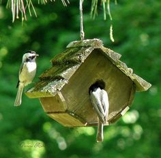 """Well, how does it look ... ?!?"" nesting house #birds #chickadees #bird house"
