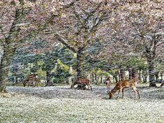 奈良公園、鹿と桜吹雪