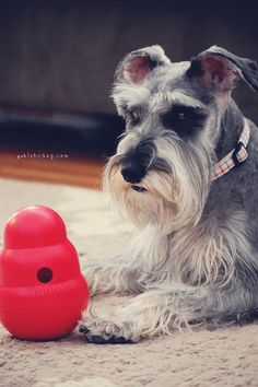 The Difficulty of Puzzle Solving by Melissa Heard #Miniature #Schnauzer