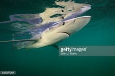 Foto de stock : Portrait of a blue shark, Prionace glauca, swimming overhead and its reflection on the water above.