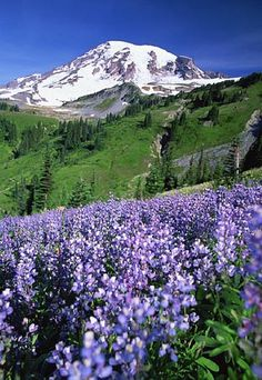 Mount Rainier...fall 2011 have never seen so many wildflowers blooming at one time on the Naches LoopTrail because of late snow melt!