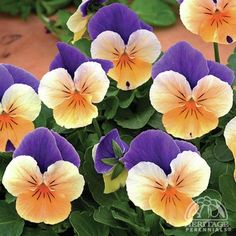 Plant Profile for Viola cornuta Penny™ Peach Jump Up - Perennial Pansy Perennial. zone 4.  adorable.  live for several seasons only.  They may reseed.  As they like cool summers, perhaps avoid afternoon sun.