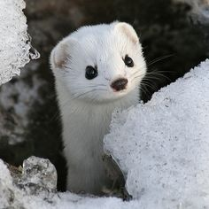 Baby Weasel ~ Will Steal Your <3!