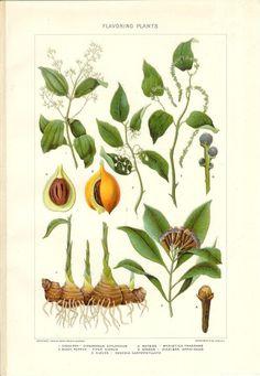 1903 Botany Print Flovoring Plants Vintage Antique by Holcroft Plate Art, Botany, Vintage Prints, Wall Art Decor, Vintage Antiques, Vintage World Maps, Beautiful Things