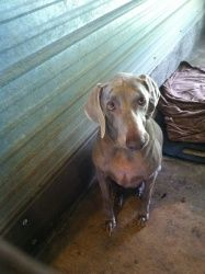 Maggie is an adoptable Weimaraner Dog in Chipley, FL. Maggie is a female Weimaraner mix that appears to be 4 years old and weighs 45-50 lbs. She is good with kids, very calm and is possibly spayed.   ...