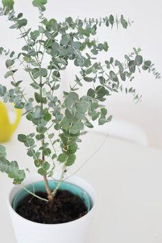 s entourer de belles plantes l 39 eucalyptus d co pinterest belle plante plantes et plante. Black Bedroom Furniture Sets. Home Design Ideas