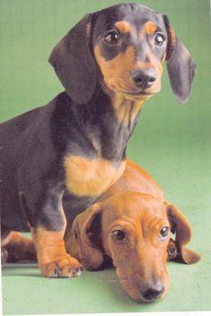 Kids Sticker 2 Dachshund Puppies Animals Cute Scrapbooking Decal Weenie Dogs New