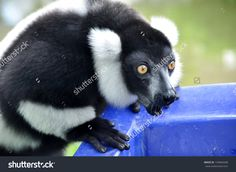 The Black And White Ruffed Lemur Is The More Endangered Of The Two Species Of Ruffed Lemurs, Both Of Which Are Endemic…