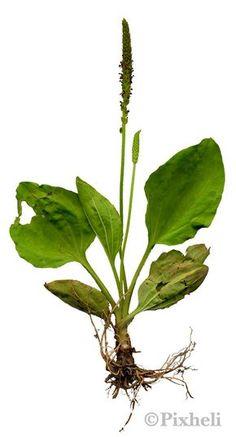 Takapihan yrttikasvit: Piharatamo Käsittely Rohtona käytetään versoa, lehtiä ja joskus myös siemeniä. Nuoret lehdet ovar parasta sellaisenaan, kestää myös kuumentamista. Tuoreista lehdistä voidaan puristaa mehua tai koko kasvista valmistetaan uutetta. Siemenistä tehdään jauhetta jota nautitaan 3-6g päivässä. Lehtien kuivaus vaatii huolellisuutta; niitä ei saa käännellä koska ne mustuvat helposti ja vain vihreänä säilyvät kelpaavat teeksi. Haavoihin: puhdas lehti muserretaan pehmeäksi ja… Antirrhinum, Syringa, Wild Flowers, Plant Leaves, Garden, Plants, Vegetable Garden, Garten, Wildflowers