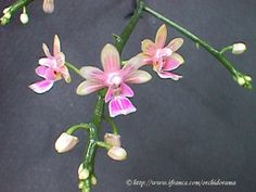 Kingidium philippinensis