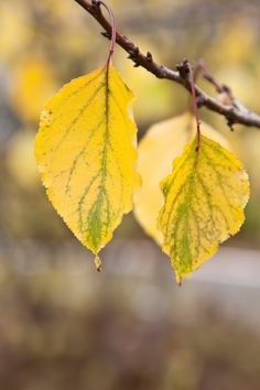 Fine art Yellow leaves at the branch-fall by PhotoMood on Etsy