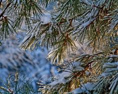 Snowy Pine Needles  Winter snow  evergreen Tree  by NewLeafPics, $25.00