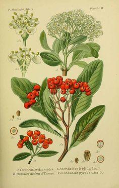 210127 Pyracantha coccinea M. Roemer [as Cotoneaster pyracantha (L.) Spach]  / Mouillefert, P., Traité des arbres et arbrissaux, Atlas, t. 6, fig. B (1892-1898)