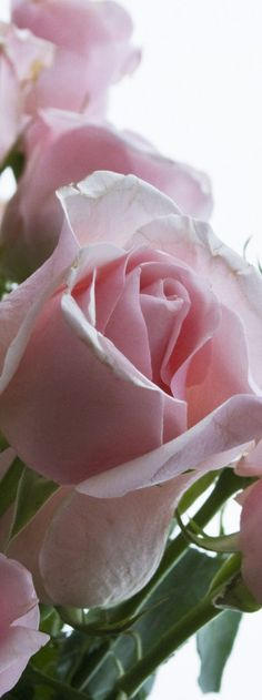 Frivolous Fabulous - Enjoy Pink Gorgeous Roses Frivolous Fabulous Tea Suite