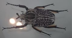 A photo of an entire goliath beetle that I took when I visited the London Natural history Museum. I subsequently have discovered that this beetle has inspired designs by Alexander McQueen and Damien Hirst.