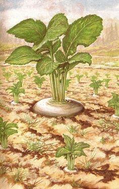 The enormous turnip. Ladybird Books, Cactus Plants, Fairy Tales, My Favorite Things, Book Illustrations, Grande, Russia, Kindergarten, Preschool