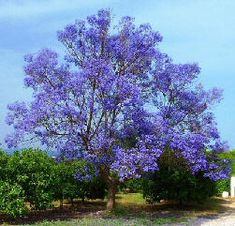 Blue jacaranda one of the most popular trees people love to grow because the fern like leaves PURPLE FLOWERS make them look like trees straight fairytale