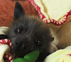 """edacsac-asudem: """" Baby bat continuous ear wiggle """" Yes. I needed this."""