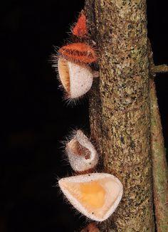 Cup fungi | Flickr - Photo Sharing!