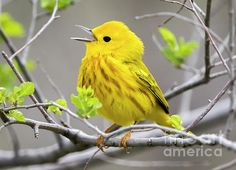 Yellow Warbler Wisconsin  (C) Copyright Ricky L.Jones Photography 1995-2016 All rights