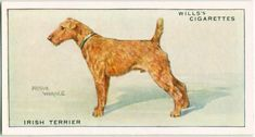 One of hundreds of thousands of free digital items from The New York Public Library. Dog Artwork, Irish Terrier, Collector Cards, New York Public Library, Book Of Shadows, Illustration Art, Illustrations, History, Digital