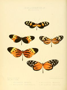 v.1 - Illustrations of new species of exotic butterflies : - Biodiversity Heritage Library
