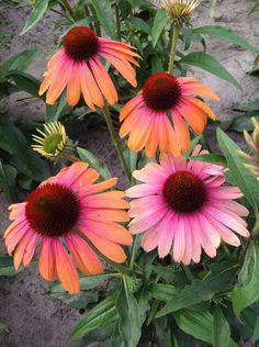 Echinacea 'Butterfly Rainbow Marcella' Compact and very floriferous. Drought tolerant and attractive to bees and butterflies. California Spring Trials Preview: 32 New Perennials For 2016 | Greenhouse Grower
