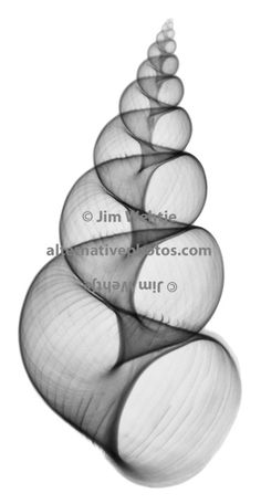X-ray image of a wentletrap shell (Epitonium irregulare, black on white) by Jim Wehtje, specialist in x-ray art and design images.