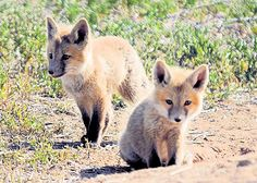 awww baby foxes