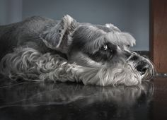 """Figure out additional relevant information on """"schnauzer dogs"""". Check out our website. Schnauzers, Mini Schnauzer Puppies, Miniature Schnauzer, Baby Puppies, Mini Shnauzer, Animals And Pets, Cute Animals, Labrador Retriever Dog, Bull Terrier Dog"""