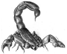 sketches scorpion | ... scorpion this is a drawing of an idealized scorpion several photos of