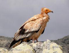Egyptian Vulture -