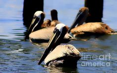 The Lovely Pelican Photograph by Debra Forand - The Lovely Pelican Fine Art Prints and Posters for Sale
