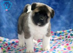 This Akita puppy will definitely be your dream puppy! He is a social fella who will quickly take on the roll of best friend & companion. Akita Puppies For Sale, Cute Puppies For Sale, Shitzu Puppies, Tiny Puppies, Cute Dogs, Pretty Animals, Cute Baby Animals, Animals Beautiful, Funny Puppy Pictures