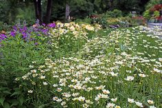 One of the great new varieties of Coreopsis: 'Star Cluster' is a great garden perennial. It grows about two and a half feet tall in my garden and I chop in down by half in late July. Given this treatment it grows back and continues to flower until hard frost. Hardy in zones 5-9. Plant this in full sun.