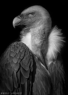 This must be a Vulture. So beautiful the photo. http://500px.com/photo/26298783