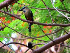 birds of costa rica - Turquoise browed Motmot