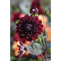 I have just purchased Dahlia 'Karma Choc' from Sarah Raven - https://www.sarahraven.com/flowers/bulbs/dahlias/dahlia_karma_choc.htm