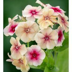 Phlox Seeds promesse Lilas Bleu 50 double fleur Phlox Fleur Graines Phlox drummon