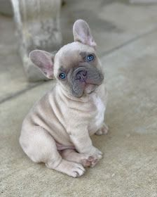 Amazing French Bulldogs | AKC French Bulldog Puppies For Sale | French Bulldog Breeder : AVAILABLE PUPPIES Blue French Bulldog Puppies, French Bulldog Breeders, Super Cute Puppies, Bulldog Puppies For Sale, Cute French Bulldog, Cute Baby Dogs, Cute Dogs And Puppies, Cute Baby Animals, French Bulldogs
