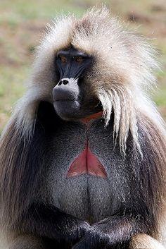 male gelada baboon of Ethiopian highlands