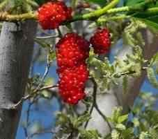 Buy White Pakistan Mulberry Tree White Pakistan Mulberry
